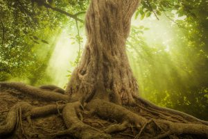 big tree roots and sunshine in a green forest